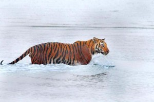 A Royal Bengal Tiger at Sundarbans National Park